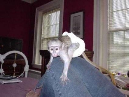 Capuchin Monkeys for Adoptionssdss