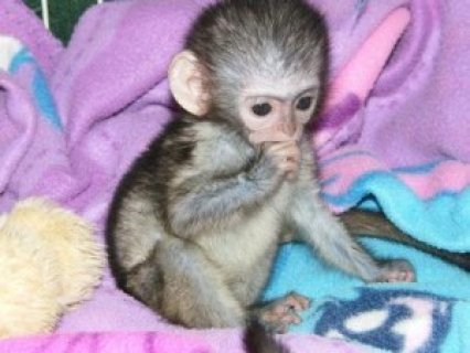 Cute and Adorable Capuchin Monkeyfvf