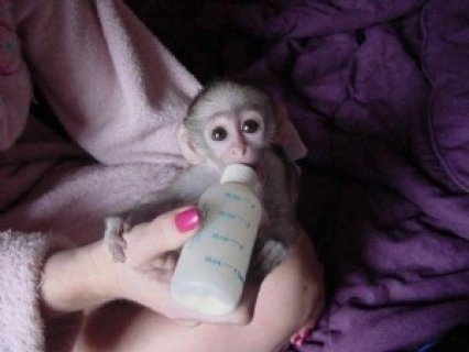 White Face Marmoset Monkeysdh