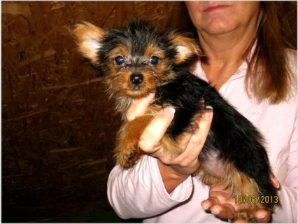 Yorkie puppies Puppies To Go Now3