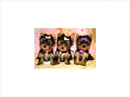 Cute YORKIE PUPPIES AVAILABLE32
