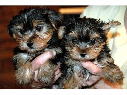 Beautiful Intelligent Health Guaranteed Pure Yorkie Puppies. hh