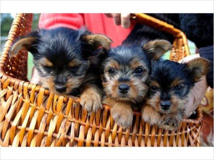 Very friendly Yorkie Puppies Available 22