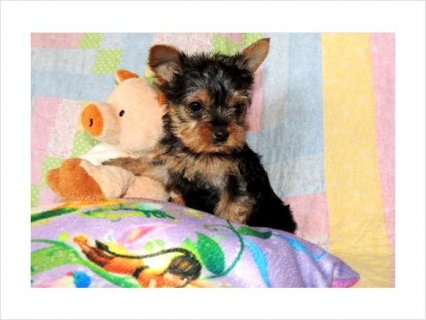 Top Quality Teacup Yorkshire-Terrier Puppiess