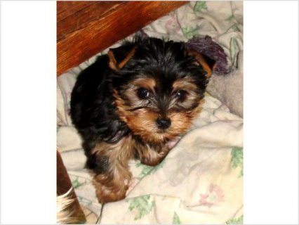Cute ckc female yorkie44
