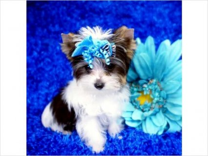 White and Black Parti Yorkie Puppy4