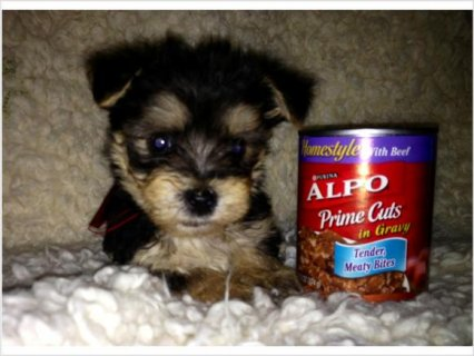Adorable male yorkie for sale 23