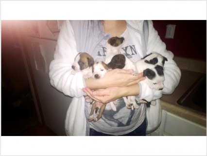 Chiweenie puppies for sale23