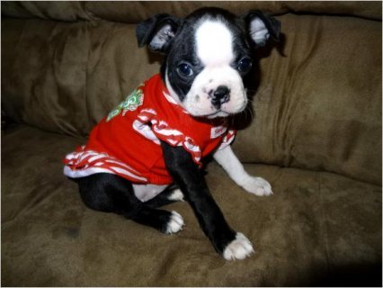 Akc & CKC Boston Terrier Puppies