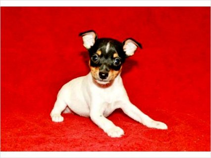 Aca Toy Fox Terrier Puppies