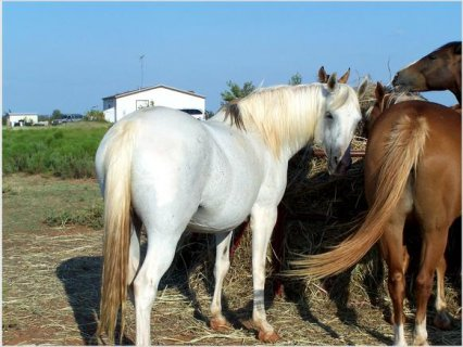 Double registered pinto arab maree