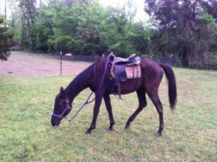 Arabian Mare For Salertt