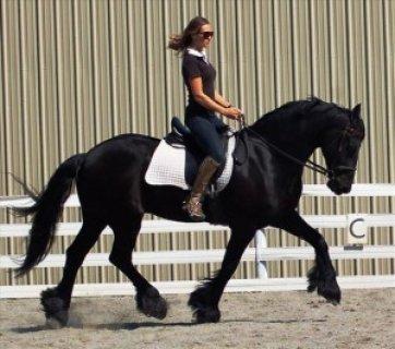 Quarter Horse for adoption