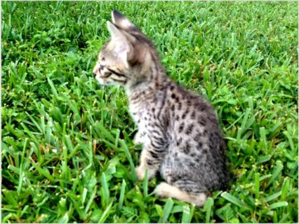 Adorable F3 SAVANNAH KITTENS5