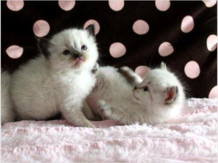Ragdoll & Ragamuffin Kittens33