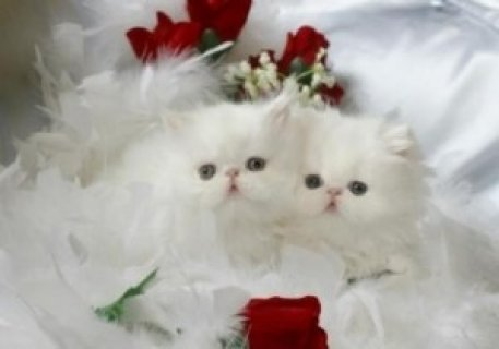2 Cute Persian kittens.t