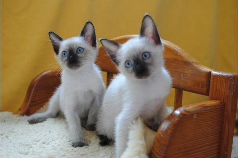 صور Adorable siamese Kittens Available	1 1