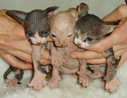 sphynx kittens for sale	55