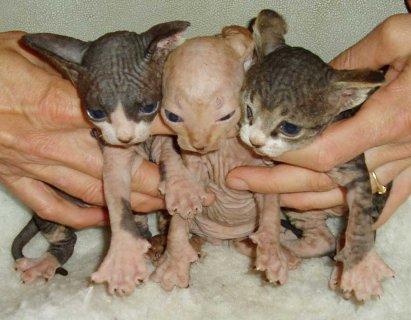 sphynx kittens for sale55