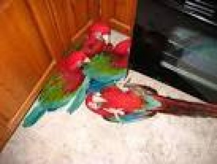 adorable macaw parrots for lease6