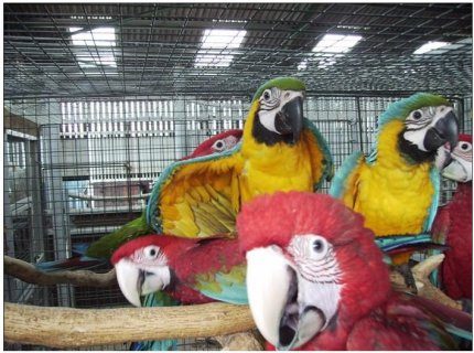 صور Macaws parrots that are ready to go into a new homes4 1