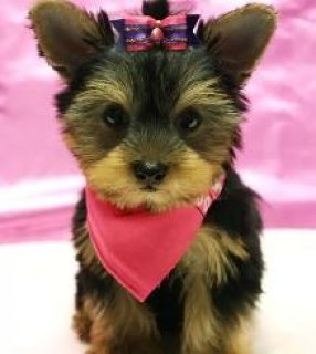 Toy & Teacup Size Yorkies For Sale25