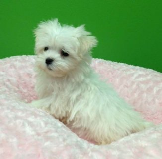 Maltese, Morkies and Maltapoos
