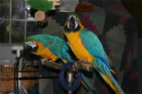 Blue and Gold Macaws parrots to rehome