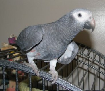 cute african grey parrots
