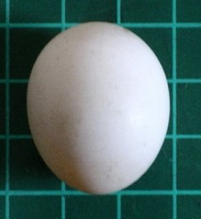 Fertile Parrot Eggs Available For Sale