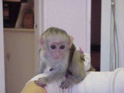 اثنين من الذكور والإناث رائعتين القرد قرود للاعتماد