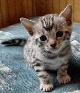 Lovely face Bengal kitten readyn for adoption,