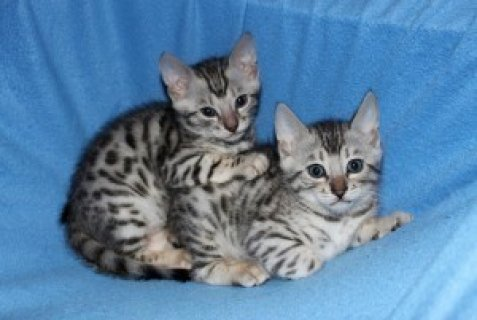 Well Train Male And Female Bengal Kittens For Sale