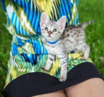 F2 Savannah Kittens for Re-homing