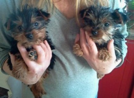 صور Perfect Tea-Cup Yorkie Puppies 1