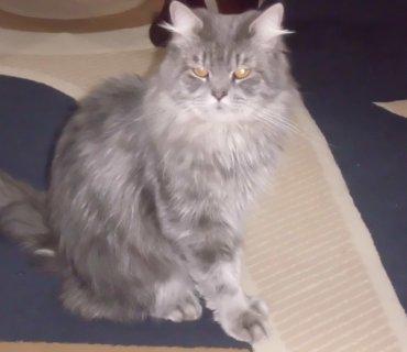 للتبني قطط شيرازية النوع