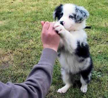 CUTE FEMALE BORDER COLLIE PUPPIES READY FOR ADOPTION