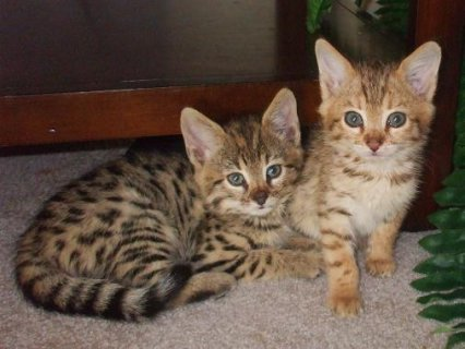 F1-F3 savannah kittens available