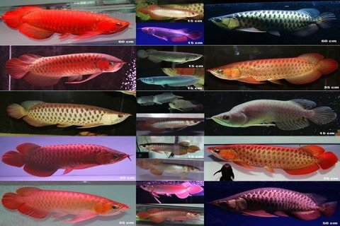 order your super red arowana fish with complete setup.