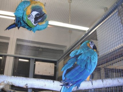 Blue and Gold macaw parrot for sale