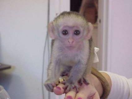 capuchine monkeyfor sale ( 280 KD)