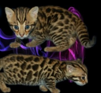 صور Great Personality Xas Male And Female Savanah Kitten For Sale. 1