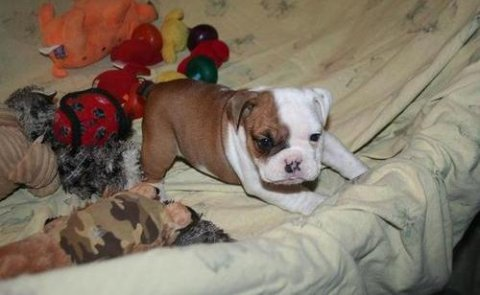 Quality English bulldog puppies available for caring family