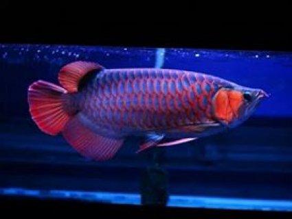 super red arowana fish for home decoration