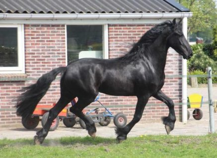 صور VERY nice gelding horse for sale ( 1500KWD ) 1