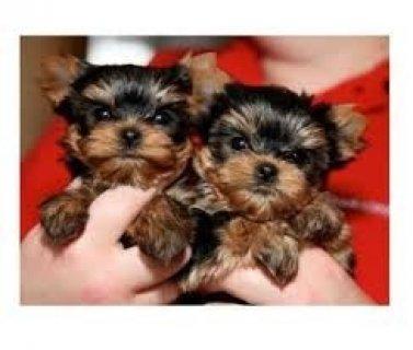 Yorkie Puppies..
