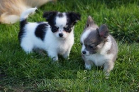 Chihuahua Puppies for Adoption..