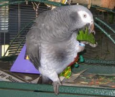 African Grey Parrot and cage talking and friendly