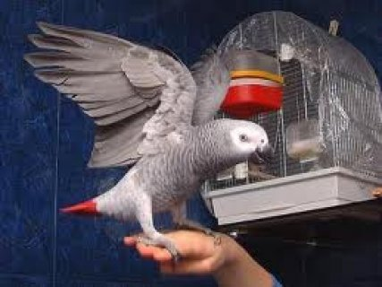 1 Year Old African Grey Parrot For Sale With Cage, Playstand and