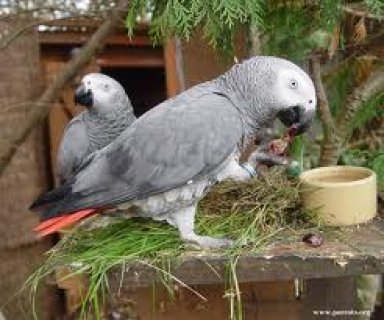 3 year old African Grey Parrot with cage excellent talker
